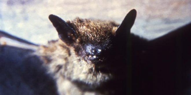Hamilton has first confirmed case of bat rabies of 2016, Report