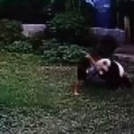 Meiling: Panda wrestles intruder at Chinese zoo (Video)