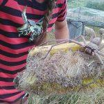 Giant huntsman spider nicknamed Charlotte captured on camera in Australia
