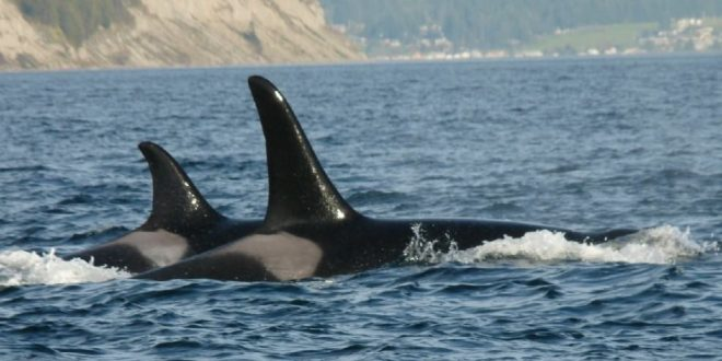 Orca J34 found off coast of B.C. suffered blunt force trauma, officials say