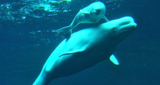 Vancouver Aquarium to end display of beluga whales by 2029