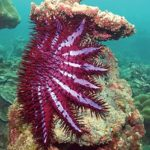 Reef-eating starfish could be lured away by lust, finds new research