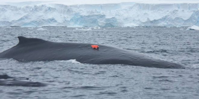 Researchers Attach 'Whale Cams' to Humpbacks to Track Feeding Habits in Antarctica
