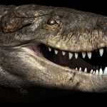 An Enormous crocodile was 24 feet long with teeth as sharp as a T-Rex's