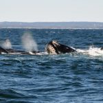DFO: Another Right whale found dead in Gulf of St. Lawrence