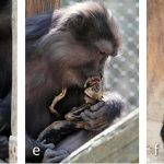 In Photo: Cannibal macaque mother pictured eating her own mummified baby
