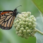 How Milkweeds Can Save Monarch Butterflies