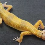 Cells driving gecko's ability to re-grow its tail identified, says new research