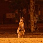 Australian wildfires animals dead, fires kill half a billion animals