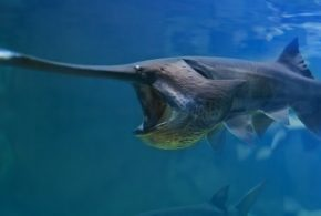 Chinese paddlefish extinct, giant species has been declared extinct