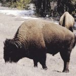 Yellowstone to half reopen, amid COVID-19 self-quarantine differences between states