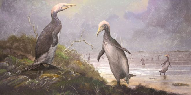 New Zealand's ancient monster penguins had northern hemisphere doppelgangers (Study)