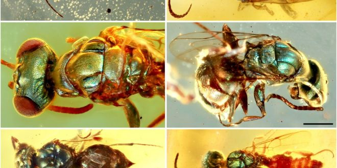 Amber fossils unlock true color of 99-million-year-old insects (Study)